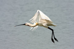 Spoonbill (Platalea leucorodia) Royalty Free Stock Photography