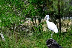 Spoonbill or Platalea leucorodia Royalty Free Stock Photos