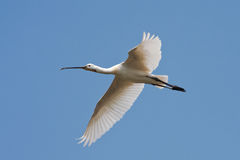 Spoonbill (Platalea leucorodia) in flight Stock Photography