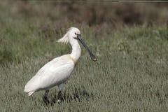 Spoonbill, Platalea leucorodia Stock Images
