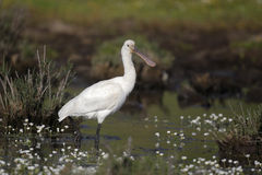 Spoonbill, Platalea leucorodia Royalty Free Stock Photo