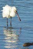 Spoonbill at Poole Harbour Stock Image