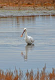 Spoonbill portrait Royalty Free Stock Image