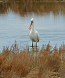 Spoonbill portrait Stock Photography