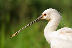 Spoonbill Portrait With Blurred Green Background Stock Photo