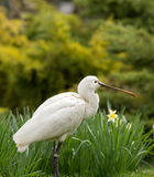 Spoonbill Royalty Free Stock Images