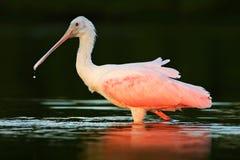 Spoonbill ptak Piękny wschód słońca z ptakiem, Platalea ajaja, Roseate Spoonbill w wodnym słońce plecy świetle, szczegółu portret Obraz Royalty Free