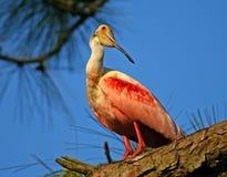 Spoonbill róseo Imagem de Stock Royalty Free