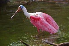 Spoonbill róseo Imagens de Stock Royalty Free