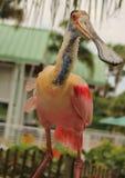 Spoonbill róseo Fotos de Stock Royalty Free