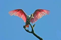 Spoonbill róseo foto de stock royalty free