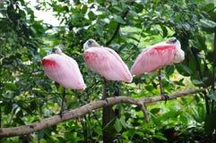 Spoonbill róseo Imagem de Stock