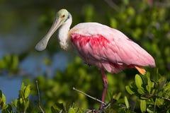 Spoonbill róseo (ajaja do Ajaia) Imagem de Stock Royalty Free