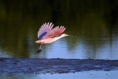 Spoonbill róseo, ajaja do platalea Foto de Stock