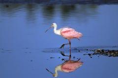 Spoonbill róseo, ajaja do platalea Imagens de Stock Royalty Free