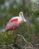 Spoonbill róseo, ajaja do Platalea Imagens de Stock