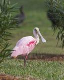 Spoonbill róseo, ajaja do Platalea Foto de Stock Royalty Free