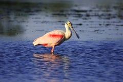 Spoonbill róseo (ajaja do Platalea) Imagem de Stock Royalty Free