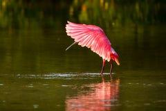 Spoonbill róseo (ajaja do platalea) Fotografia de Stock