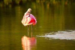 Spoonbill róseo (ajaja do platalea) Foto de Stock