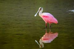 Spoonbill róseo (ajaja do platalea) Fotos de Stock