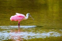 Spoonbill róseo (ajaja do platalea) Imagem de Stock