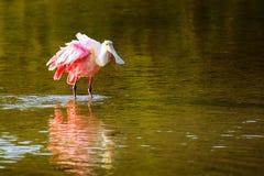Spoonbill róseo (ajaja do platalea) Imagens de Stock Royalty Free