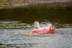 Spoonbill róseo (ajaja do platalea) Imagens de Stock
