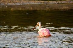 Spoonbill róseo (ajaja do platalea) Foto de Stock Royalty Free