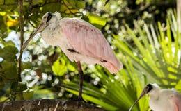 Spoonbill róseo (ajaja do Platalea ou ajaja do Ajaia): Imagens de Stock