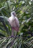 Spoonbill róseo (ajaja do Platalea ou ajaja do Ajaia): Fotos de Stock Royalty Free