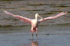 Spoonbill róseo com as asas estendidas Imagem de Stock
