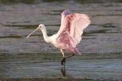 Spoonbill róseo com asas acima Foto de Stock
