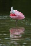 Spoonbill róseo - console de Sanibel, Florida Foto de Stock Royalty Free