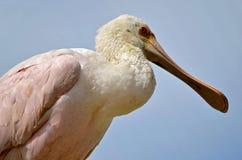 Spoonbill róseo do close up Imagens de Stock Royalty Free