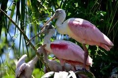 Spoonbill róseo e pintainhos Fotografia de Stock