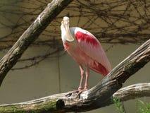 Spoonbill róseo em um jardim zoológico foto de stock royalty free