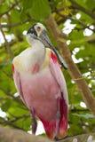 Spoonbill róseo em uma filial de árvore imagem de stock