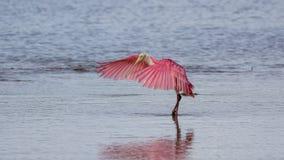 Spoonbill róseo, J n Ding Darling National Wildlife Refug fotos de stock