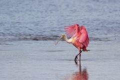 Spoonbill róseo, J n Ding Darling National Wildlife Refug foto de stock royalty free