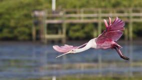 Spoonbill róseo no vôo imagem de stock
