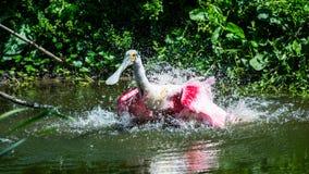 Spoonbill róseo que banha-se no lago imagem de stock