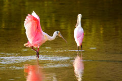 Spoonbill róseo & x28; Ajaja& x29 do Platalea; Imagem de Stock Royalty Free