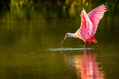 Spoonbill róseo & x28; Ajaja& x29 do Platalea; Imagens de Stock