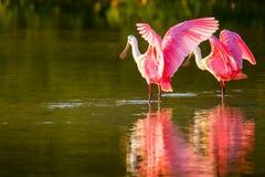 Spoonbill róseo & x28; Ajaja& x29 do Platalea; Foto de Stock