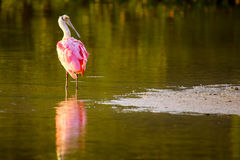 Spoonbill róseo & x28; Ajaja& x29 do Platalea; Fotos de Stock Royalty Free