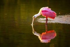 Spoonbill róseo & x28; Ajaja& x29 do Platalea; Imagem de Stock