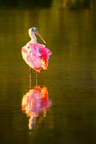 Spoonbill róseo & x28; Ajaja& x29 do Platalea; Fotografia de Stock