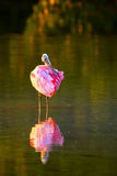 Spoonbill róseo & x28; Ajaja& x29 do Platalea; Foto de Stock Royalty Free