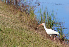 A spoonbill. By a river in Florida royalty free stock image